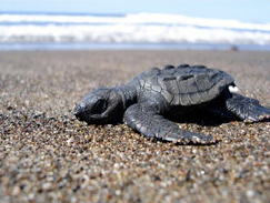 turtle-on-nosara-beach