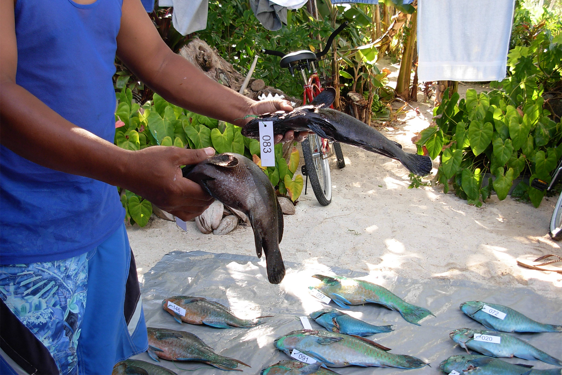 demonstrating the rigor-mortis test for ciguatera in reef fish